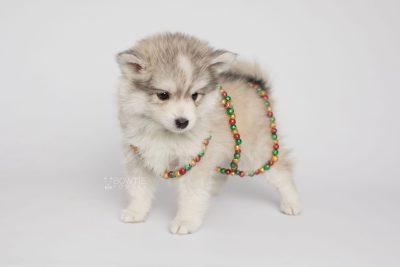 puppy156 week7 BowTiePomsky.com Bowtie Pomsky Puppy For Sale Husky Pomeranian Mini Dog Spokane WA Breeder Blue Eyes Pomskies Celebrity Puppy web7