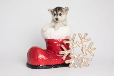 puppy157 week7 BowTiePomsky.com Bowtie Pomsky Puppy For Sale Husky Pomeranian Mini Dog Spokane WA Breeder Blue Eyes Pomskies Celebrity Puppy web6