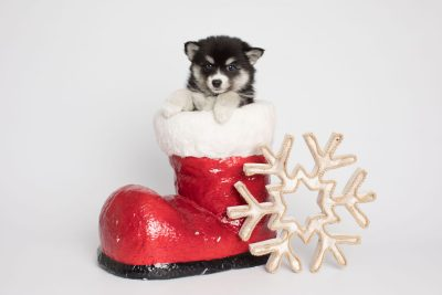 puppy158 week7 BowTiePomsky.com Bowtie Pomsky Puppy For Sale Husky Pomeranian Mini Dog Spokane WA Breeder Blue Eyes Pomskies Celebrity Puppy web6
