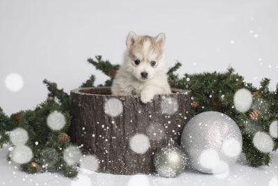 puppy159 week5 BowTiePomsky.com Bowtie Pomsky Puppy For Sale Husky Pomeranian Mini Dog Spokane WA Breeder Blue Eyes Pomskies Celebrity Puppy web1