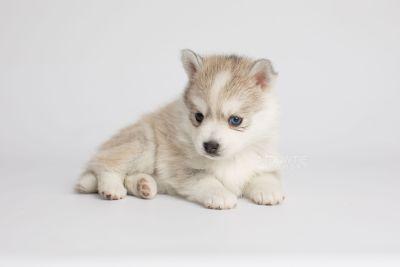 puppy159 week5 BowTiePomsky.com Bowtie Pomsky Puppy For Sale Husky Pomeranian Mini Dog Spokane WA Breeder Blue Eyes Pomskies Celebrity Puppy web3