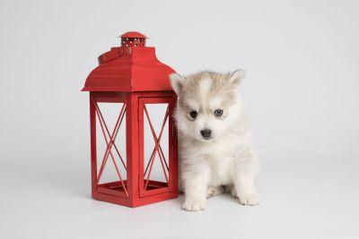 puppy159 week5 BowTiePomsky.com Bowtie Pomsky Puppy For Sale Husky Pomeranian Mini Dog Spokane WA Breeder Blue Eyes Pomskies Celebrity Puppy web5
