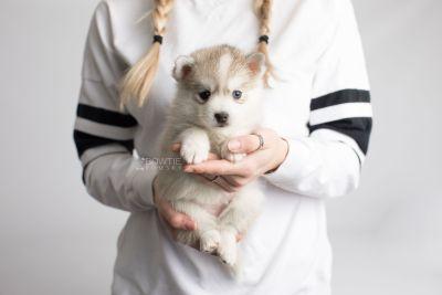 puppy159 week5 BowTiePomsky.com Bowtie Pomsky Puppy For Sale Husky Pomeranian Mini Dog Spokane WA Breeder Blue Eyes Pomskies Celebrity Puppy web7
