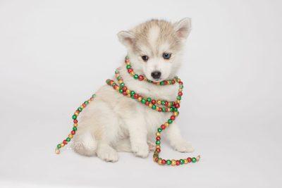 puppy159 week7 BowTiePomsky.com Bowtie Pomsky Puppy For Sale Husky Pomeranian Mini Dog Spokane WA Breeder Blue Eyes Pomskies Celebrity Puppy web6