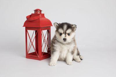 puppy160 week5 BowTiePomsky.com Bowtie Pomsky Puppy For Sale Husky Pomeranian Mini Dog Spokane WA Breeder Blue Eyes Pomskies Celebrity Puppy web4