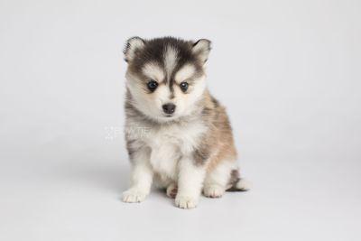 puppy160 week5 BowTiePomsky.com Bowtie Pomsky Puppy For Sale Husky Pomeranian Mini Dog Spokane WA Breeder Blue Eyes Pomskies Celebrity Puppy web5