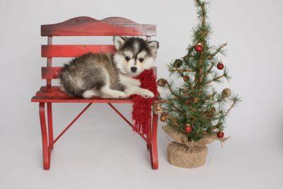 puppy160 week7 BowTiePomsky.com Bowtie Pomsky Puppy For Sale Husky Pomeranian Mini Dog Spokane WA Breeder Blue Eyes Pomskies Celebrity Puppy web2