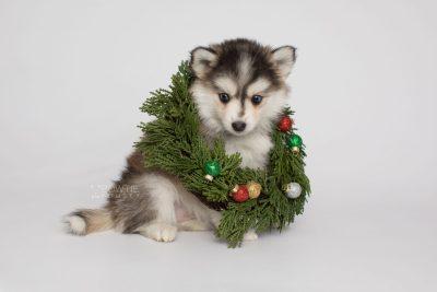 puppy160 week7 BowTiePomsky.com Bowtie Pomsky Puppy For Sale Husky Pomeranian Mini Dog Spokane WA Breeder Blue Eyes Pomskies Celebrity Puppy web3