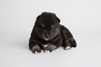 puppy161 week3 BowTiePomsky.com Bowtie Pomsky Puppy For Sale Husky Pomeranian Mini Dog Spokane WA Breeder Blue Eyes Pomskies Celebrity Puppy web5