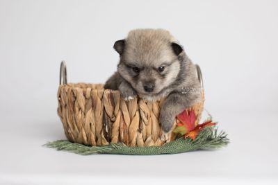 puppy162 week3 BowTiePomsky.com Bowtie Pomsky Puppy For Sale Husky Pomeranian Mini Dog Spokane WA Breeder Blue Eyes Pomskies Celebrity Puppy web4