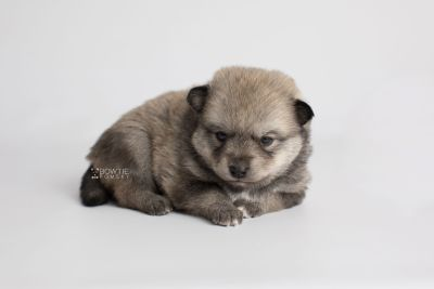 puppy162 week3 BowTiePomsky.com Bowtie Pomsky Puppy For Sale Husky Pomeranian Mini Dog Spokane WA Breeder Blue Eyes Pomskies Celebrity Puppy web5