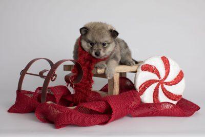 puppy162 week5 BowTiePomsky.com Bowtie Pomsky Puppy For Sale Husky Pomeranian Mini Dog Spokane WA Breeder Blue Eyes Pomskies Celebrity Puppy web3
