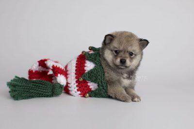 puppy162 week5 BowTiePomsky.com Bowtie Pomsky Puppy For Sale Husky Pomeranian Mini Dog Spokane WA Breeder Blue Eyes Pomskies Celebrity Puppy web4