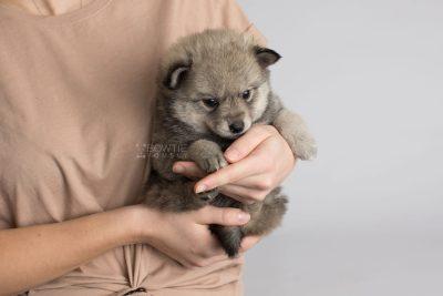 puppy162 week5 BowTiePomsky.com Bowtie Pomsky Puppy For Sale Husky Pomeranian Mini Dog Spokane WA Breeder Blue Eyes Pomskies Celebrity Puppy web6