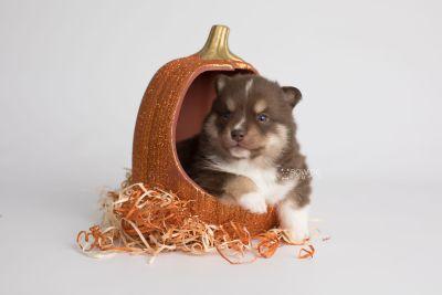 puppy163 week3 BowTiePomsky.com Bowtie Pomsky Puppy For Sale Husky Pomeranian Mini Dog Spokane WA Breeder Blue Eyes Pomskies Celebrity Puppy web5