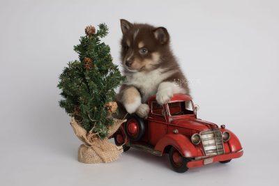 puppy163 week5 BowTiePomsky.com Bowtie Pomsky Puppy For Sale Husky Pomeranian Mini Dog Spokane WA Breeder Blue Eyes Pomskies Celebrity Puppy web1