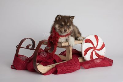 puppy163 week5 BowTiePomsky.com Bowtie Pomsky Puppy For Sale Husky Pomeranian Mini Dog Spokane WA Breeder Blue Eyes Pomskies Celebrity Puppy web4