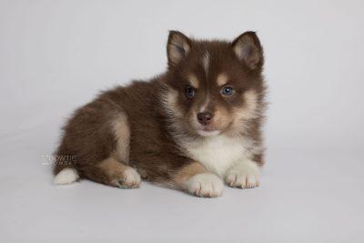 puppy163 week5 BowTiePomsky.com Bowtie Pomsky Puppy For Sale Husky Pomeranian Mini Dog Spokane WA Breeder Blue Eyes Pomskies Celebrity Puppy web6