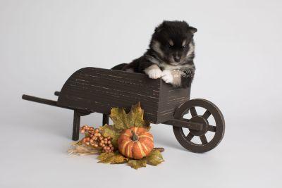 puppy164 week3 BowTiePomsky.com Bowtie Pomsky Puppy For Sale Husky Pomeranian Mini Dog Spokane WA Breeder Blue Eyes Pomskies Celebrity Puppy web1