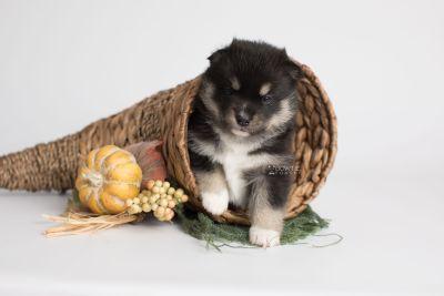 puppy164 week3 BowTiePomsky.com Bowtie Pomsky Puppy For Sale Husky Pomeranian Mini Dog Spokane WA Breeder Blue Eyes Pomskies Celebrity Puppy web3