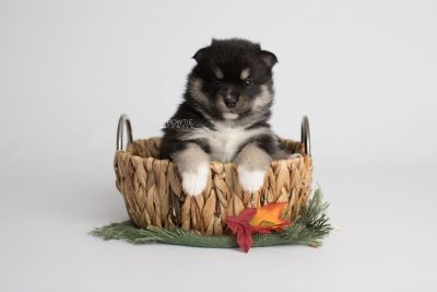 puppy164 week3 BowTiePomsky.com Bowtie Pomsky Puppy For Sale Husky Pomeranian Mini Dog Spokane WA Breeder Blue Eyes Pomskies Celebrity Puppy web4
