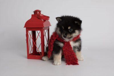 puppy164 week5 BowTiePomsky.com Bowtie Pomsky Puppy For Sale Husky Pomeranian Mini Dog Spokane WA Breeder Blue Eyes Pomskies Celebrity Puppy web2