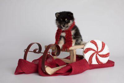 puppy164 week5 BowTiePomsky.com Bowtie Pomsky Puppy For Sale Husky Pomeranian Mini Dog Spokane WA Breeder Blue Eyes Pomskies Celebrity Puppy web3