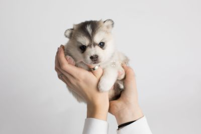 puppy165 week3 BowTiePomsky.com Bowtie Pomsky Puppy For Sale Husky Pomeranian Mini Dog Spokane WA Breeder Blue Eyes Pomskies Celebrity Puppy web6