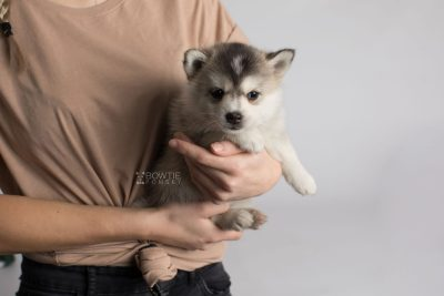 puppy165 week5 BowTiePomsky.com Bowtie Pomsky Puppy For Sale Husky Pomeranian Mini Dog Spokane WA Breeder Blue Eyes Pomskies Celebrity Puppy web7
