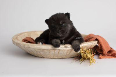 puppy166 week3 BowTiePomsky.com Bowtie Pomsky Puppy For Sale Husky Pomeranian Mini Dog Spokane WA Breeder Blue Eyes Pomskies Celebrity Puppy web3