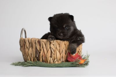 puppy166 week3 BowTiePomsky.com Bowtie Pomsky Puppy For Sale Husky Pomeranian Mini Dog Spokane WA Breeder Blue Eyes Pomskies Celebrity Puppy web4