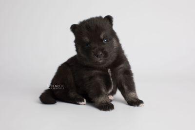 puppy166 week3 BowTiePomsky.com Bowtie Pomsky Puppy For Sale Husky Pomeranian Mini Dog Spokane WA Breeder Blue Eyes Pomskies Celebrity Puppy web6