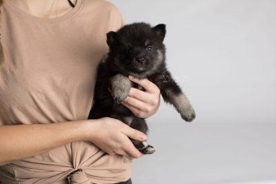 puppy166 week5 BowTiePomsky.com Bowtie Pomsky Puppy For Sale Husky Pomeranian Mini Dog Spokane WA Breeder Blue Eyes Pomskies Celebrity Puppy web6
