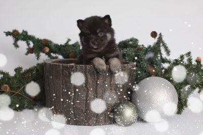 puppy166 week5 BowTiePomsky.com Bowtie Pomsky Puppy For Sale Husky Pomeranian Mini Dog Spokane WA Breeder Blue Eyes Pomskies Celebrity Puppy web7