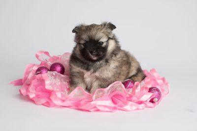 puppy168 week5 BowTiePomsky.com Bowtie Pomsky Puppy For Sale Husky Pomeranian Mini Dog Spokane WA Breeder Blue Eyes Pomskies Celebrity Puppy web5