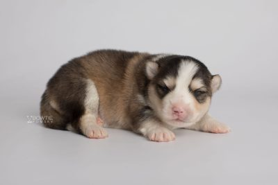puppy172 week1 BowTiePomsky.com Bowtie Pomsky Puppy For Sale Husky Pomeranian Mini Dog Spokane WA Breeder Blue Eyes Pomskies Celebrity Puppy web6