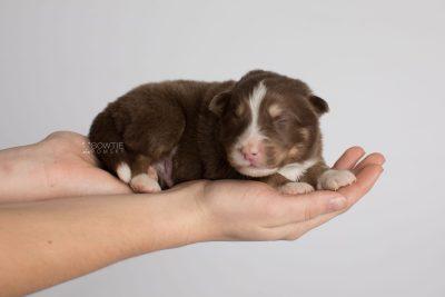 puppy174 week1 BowTiePomsky.com Bowtie Pomsky Puppy For Sale Husky Pomeranian Mini Dog Spokane WA Breeder Blue Eyes Pomskies Celebrity Puppy web7
