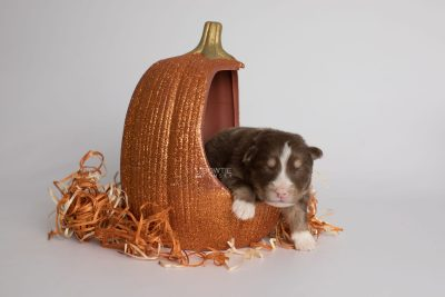puppy174 week1 BowTiePomsky.com Bowtie Pomsky Puppy For Sale Husky Pomeranian Mini Dog Spokane WA Breeder Blue Eyes Pomskies Celebrity Puppy web8