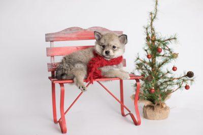 puppy162 week7 BowTiePomsky.com Bowtie Pomsky Puppy For Sale Husky Pomeranian Mini Dog Spokane WA Breeder Blue Eyes Pomskies Celebrity Puppy web1