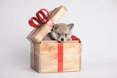 puppy162 week7 BowTiePomsky.com Bowtie Pomsky Puppy For Sale Husky Pomeranian Mini Dog Spokane WA Breeder Blue Eyes Pomskies Celebrity Puppy web2