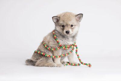 puppy162 week7 BowTiePomsky.com Bowtie Pomsky Puppy For Sale Husky Pomeranian Mini Dog Spokane WA Breeder Blue Eyes Pomskies Celebrity Puppy web5