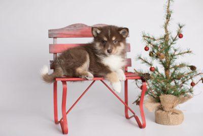puppy163 week7 BowTiePomsky.com Bowtie Pomsky Puppy For Sale Husky Pomeranian Mini Dog Spokane WA Breeder Blue Eyes Pomskies Celebrity Puppy web1