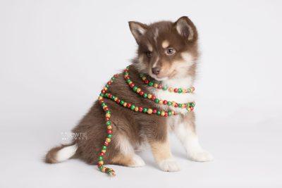 puppy163 week7 BowTiePomsky.com Bowtie Pomsky Puppy For Sale Husky Pomeranian Mini Dog Spokane WA Breeder Blue Eyes Pomskies Celebrity Puppy web5
