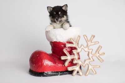 puppy164 week7 BowTiePomsky.com Bowtie Pomsky Puppy For Sale Husky Pomeranian Mini Dog Spokane WA Breeder Blue Eyes Pomskies Celebrity Puppy web2