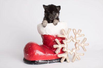 puppy166 week7 BowTiePomsky.com Bowtie Pomsky Puppy For Sale Husky Pomeranian Mini Dog Spokane WA Breeder Blue Eyes Pomskies Celebrity Puppy web3