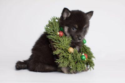 puppy166 week7 BowTiePomsky.com Bowtie Pomsky Puppy For Sale Husky Pomeranian Mini Dog Spokane WA Breeder Blue Eyes Pomskies Celebrity Puppy web5