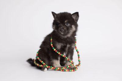 puppy166 week7 BowTiePomsky.com Bowtie Pomsky Puppy For Sale Husky Pomeranian Mini Dog Spokane WA Breeder Blue Eyes Pomskies Celebrity Puppy web7
