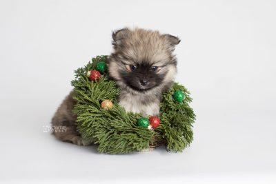puppy168 week7 BowTiePomsky.com Bowtie Pomsky Puppy For Sale Husky Pomeranian Mini Dog Spokane WA Breeder Blue Eyes Pomskies Celebrity Puppy web6