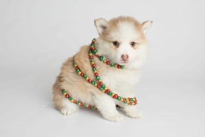 puppy170 week5 BowTiePomsky.com Bowtie Pomsky Puppy For Sale Husky Pomeranian Mini Dog Spokane WA Breeder Blue Eyes Pomskies Celebrity Puppy web4