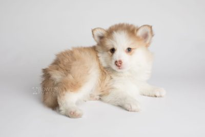 puppy170 week7 BowTiePomsky.com Bowtie Pomsky Puppy For Sale Husky Pomeranian Mini Dog Spokane WA Breeder Blue Eyes Pomskies Celebrity Puppy web6